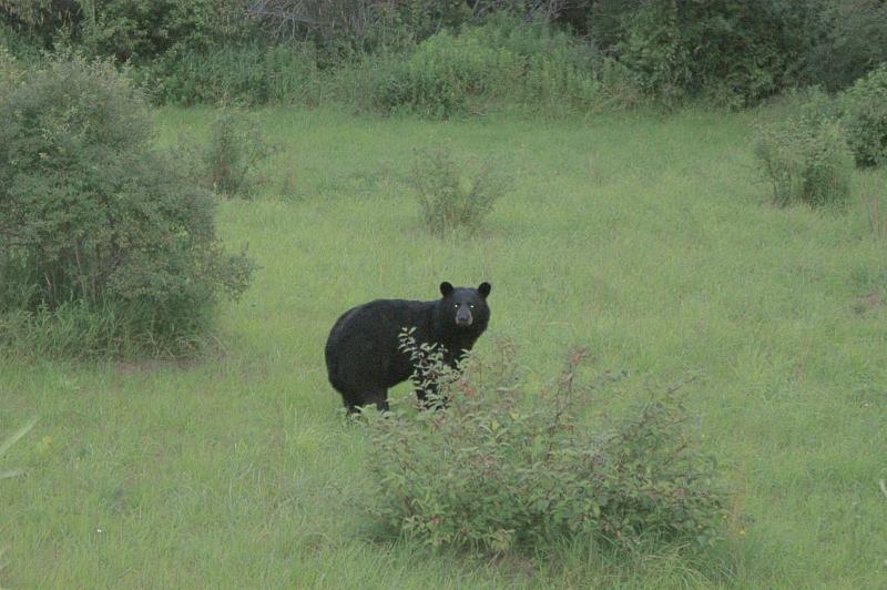 bear29c.jpg